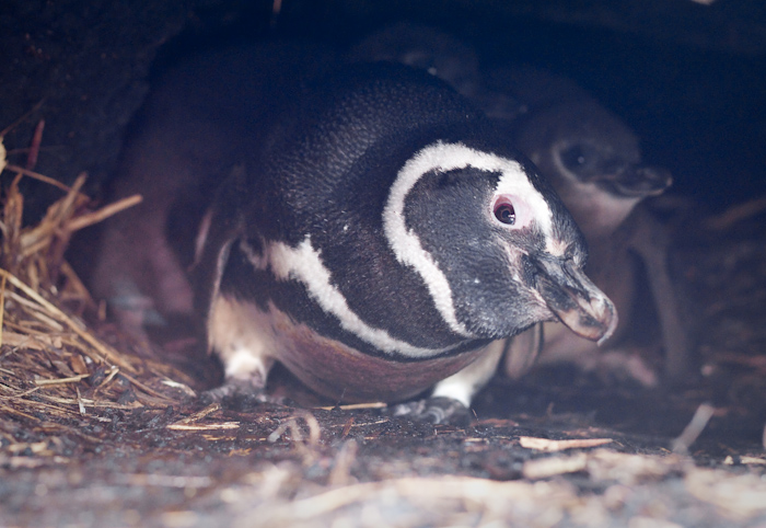Magellanic Penguin in a burrow with chicks, late December 2009.