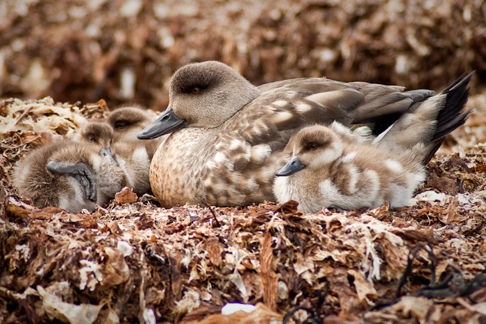 Duck family in late December 2009.