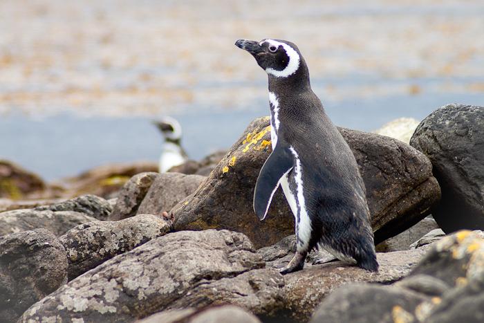 Penguins (2009).