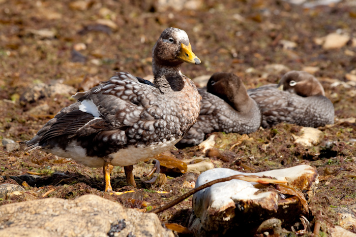 Duck family in February 2010.