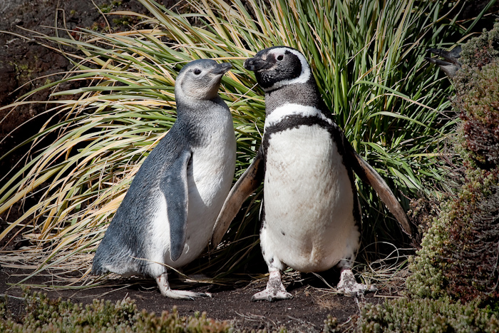 Magellanic Penguin with adolescent offspring, February 2010.