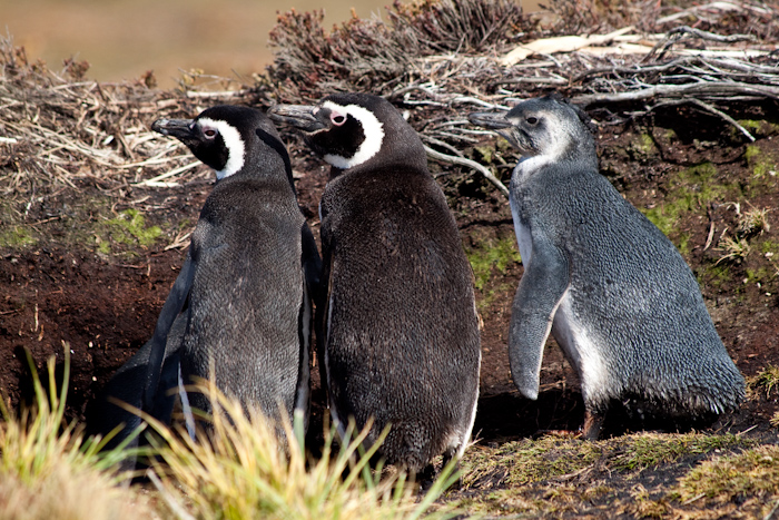 Magellanic Penguins with adolescent offspring, February 2010.