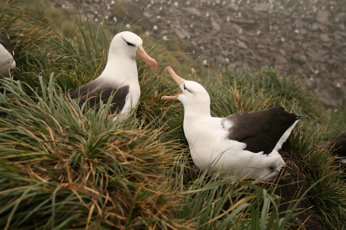 Albatrosses at West Point (2007).