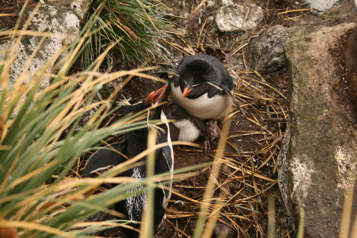 Rockhopper Penguins at West Point (2007).