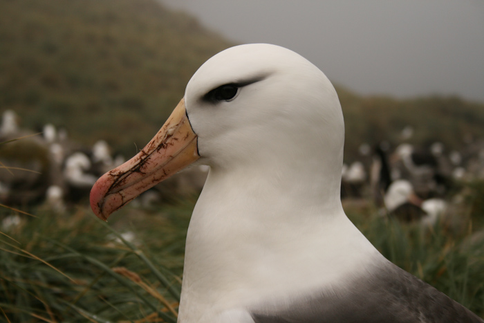 An Albatross (2007).