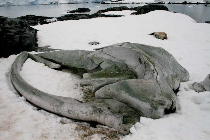 Whale skull at an old whaling station. In the background is a Leopard Seal (2007).