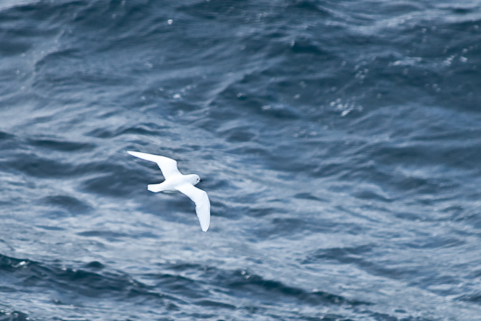 Snowy Petrel, the bird with the southernmost breeding area.
