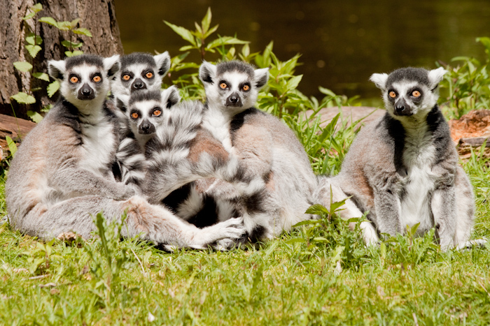 Ring tailed lemurs. This photo is a collaboration between myself and my father. He stood behind me, doing increasingly big and stupid movements to get them all to look our way at the same time.