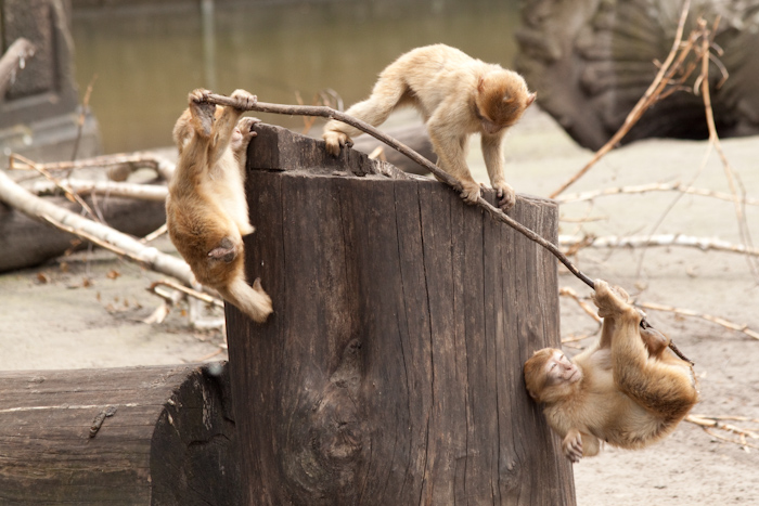I could watch the baby monkeys playing all day! Here they'd (accidentally) set up a seesaw balance type thing. A monkey each end, pivoting over a log. The monkey on top is here pushing the stick off the log.