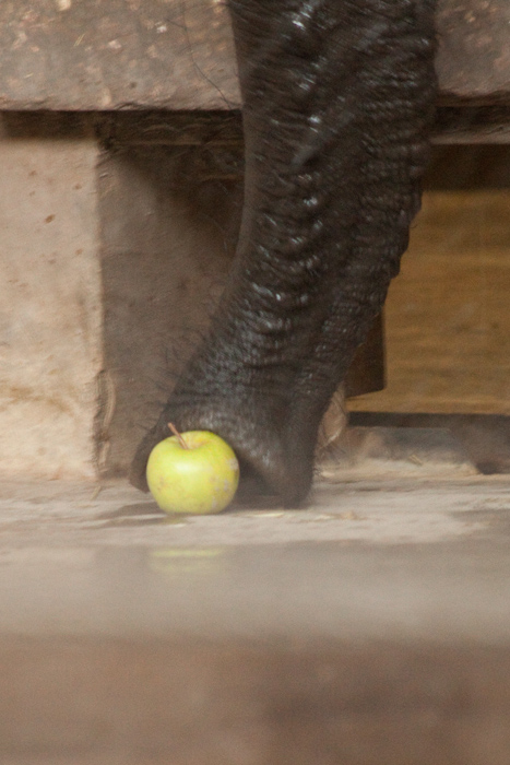 Elephants love apples.