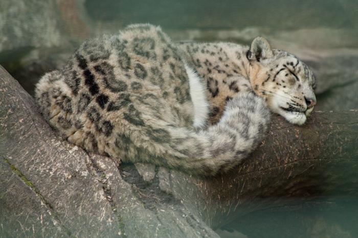 Lazy leopard.