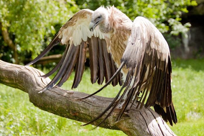 Sunbathing vulture.