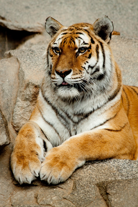 Tiger portrait.