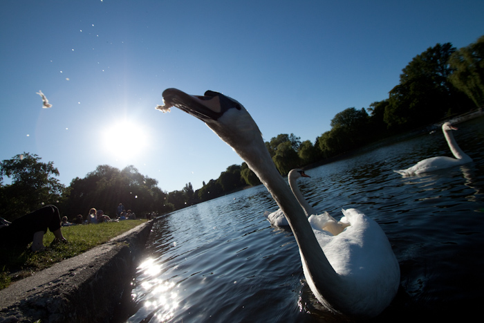 A swan pulling bread from my hand. Taking photos directly into the sun is quite tricky. For all these photos, to stop too much of the swans being