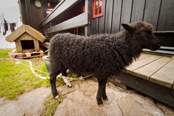 This is a sheep. It is tied on a leash. It mows the lawn of a house, and lives in a kennel. The kennel has a turf roof. This is very, very Faroeish.