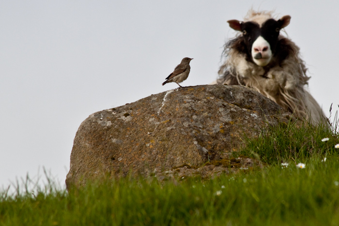 A bird and a sheep. Not a good photo, but funny.