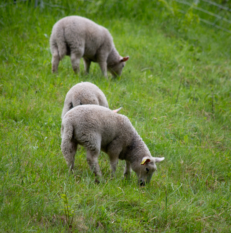 Sheep in the rain: no description