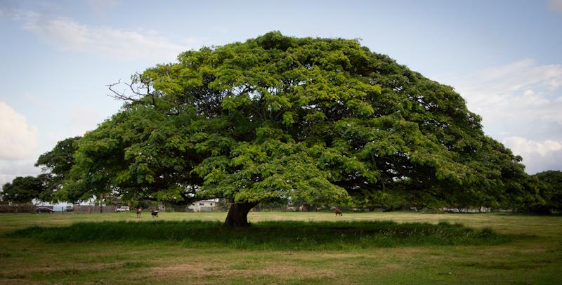 Hawaii on the Zaandam: Another tree.