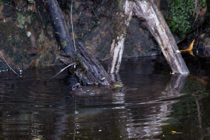Burnie, Tasmania: A platypus! I tried taking a good photo, but this was the best I could do.