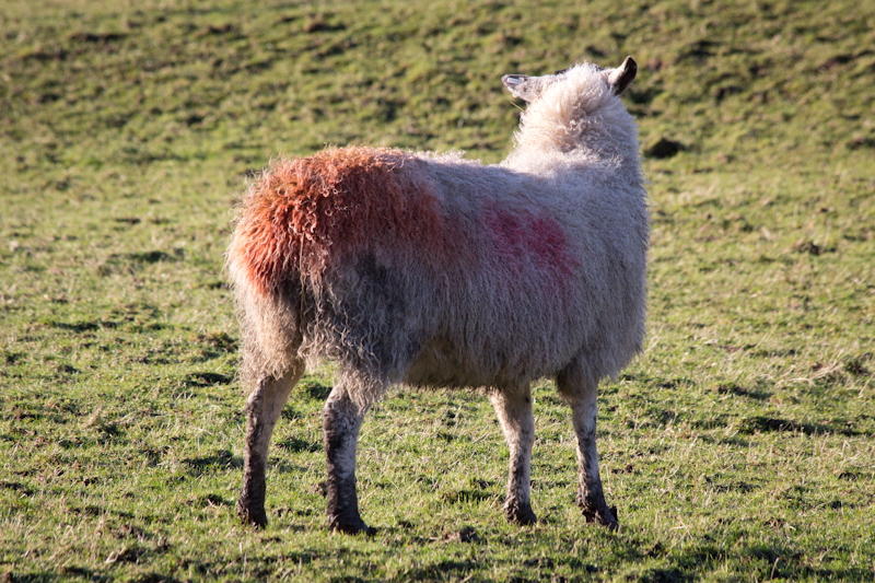 UK trip - January 2012: Sheep!