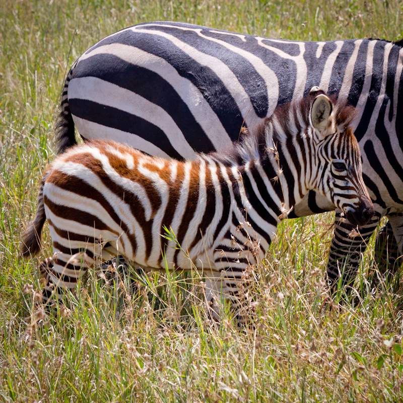 Young Zebras: Zebra stripes are brown and white when young, and black and white when mature.