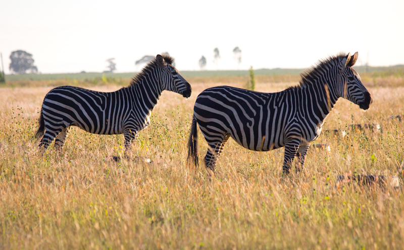 Zebras in Zambia: The entire field was strewn with tires for reasons I can't even guess, but I tried to minimize them in the photos. I also found it tricky to exclude fences and buildings from the frame, but it's worth it to make the photos look more