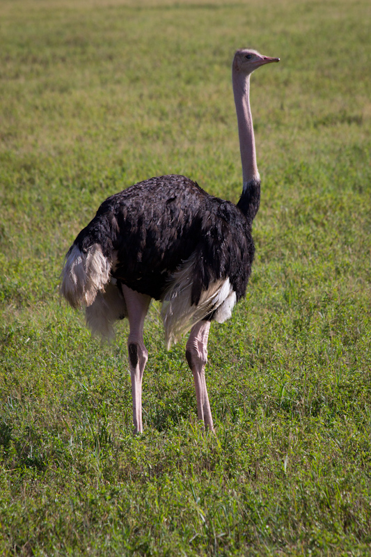 Ostrich: I took loads of photos of loads of ostriches, but they all look the same.