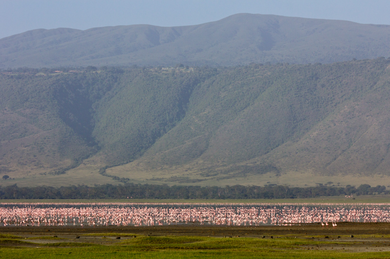 Flamingos in the Ngorongoro Crater: Once there was a volcano the size of Kilimanjaro, but it collapsed in on itself. Now it's known as the Ngorongoro Crater. It is a self contained biosphere. Water comes from springs around the sides and flows into a saltwater lake in the center. Due to the constant supply of water, animals stay there all year round. Birds use it as a migration stopover point.