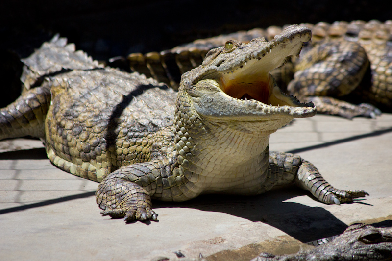 Crocodile Farm: These guys look funny.