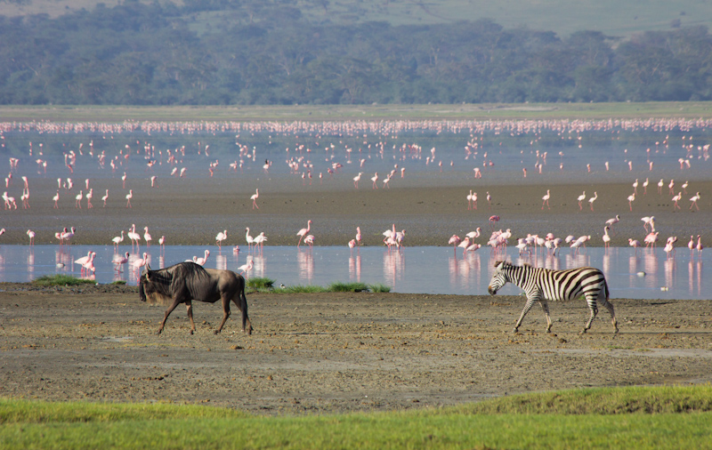 Wildebeast and Zebra: Zebras and wildebeasts have a symbiotic relationship. Wildebeast can smell water, and zebras can smell lions. Maybe it is the other way around. Either way, together they survive longer than single species herds. I took this photo in the Ngorongoro Crater.