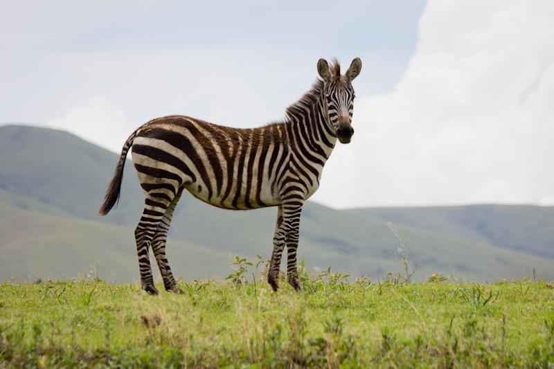 Zebras: Driving across to the Serengeti I saw my first wild zebra.