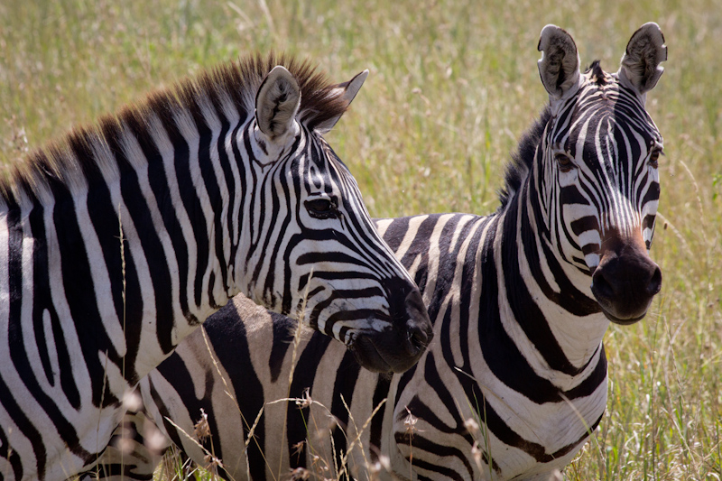 Zebras: Zebras often hang out in pairs, theoretically to confuse lions.