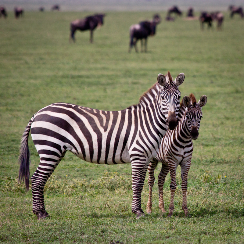 Young Zebras: In the Serengeti, and at other national parks, we saw loads of young zebras. I guess it's that time of year.